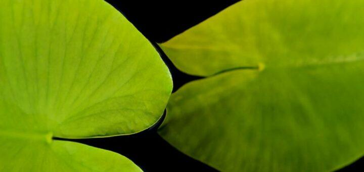 Seerosenblätter die sich zart berühren