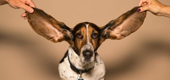 Hund bei dem die langen Ohren hochgehalten werden