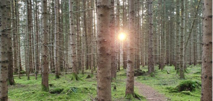 Kiefernwald mit aufgehender Sonne